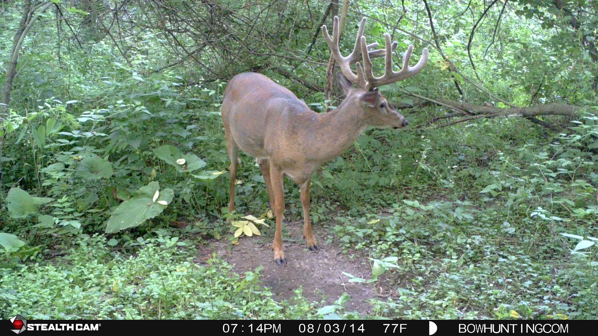 Sooner or later every serious bowhunter will find themselves longing to punch their tag on an early season velvet buck.