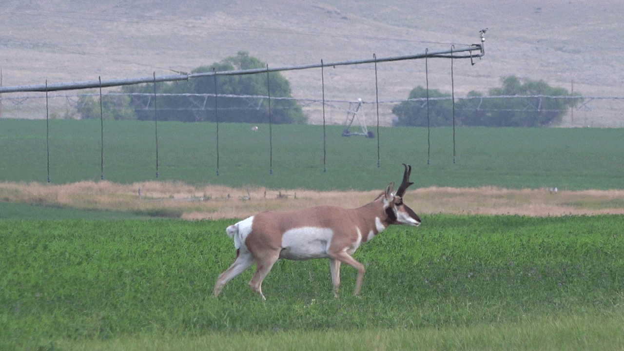 antelope in alfalfa field