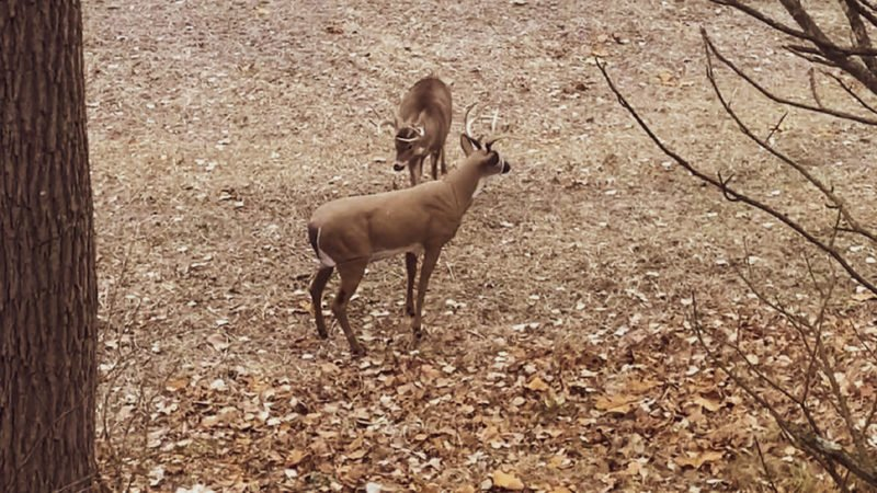 Deer Vocabulary: Sounds Deer Make And What They Mean